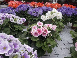 Fiori Garden Margherita